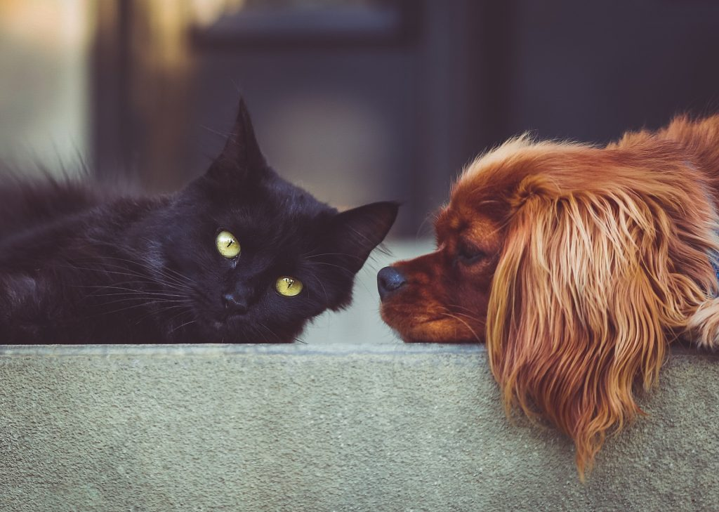 Cat lying down and dog staring at it