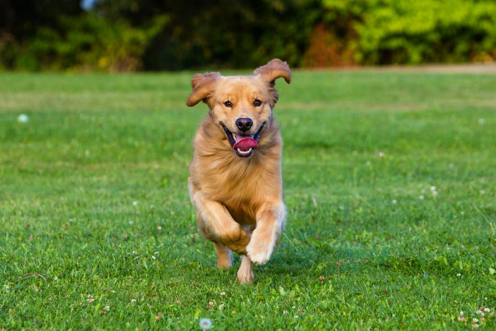 Happy dog with tongue out and running on grass