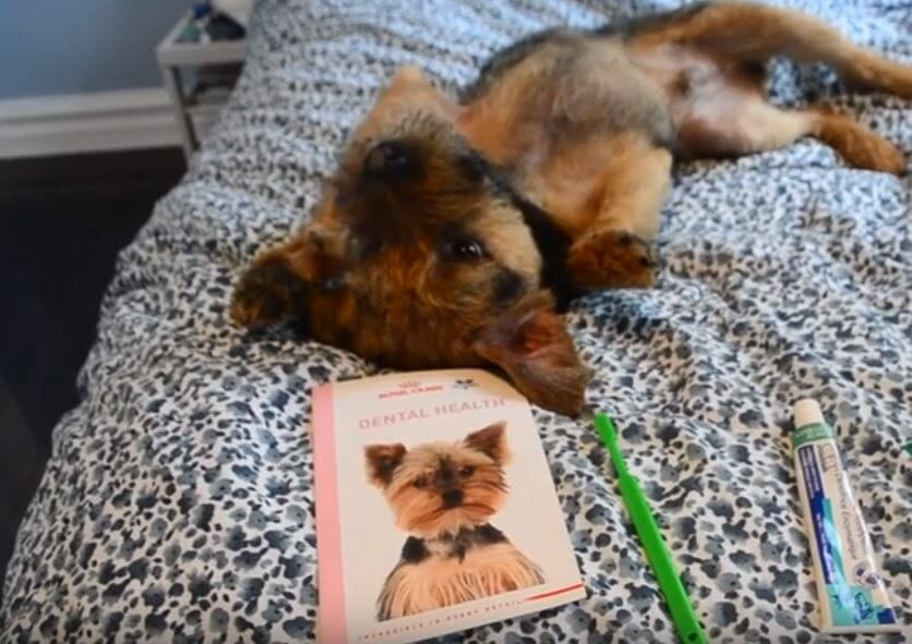Archie the dog lying on a bed with dental health book, toothbrush and toothpaste